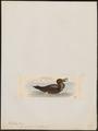 Diomedea fuliginosa - 1820-1860 - Print - Iconographia Zoologica - Special Collections University of Amsterdam - UBA01 IZ17900166.tif