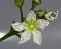 Dionaea muscipula flower 2.JPG