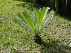 Dioon edule05.jpg