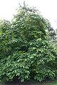 Diospyros virginiana JPG1a.jpg