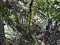 Diploclisia glaucescens (5447916454).jpg