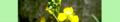 Diplotaxis tenuifolia. Reader.png