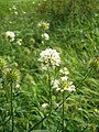 Dipsacus pilosus inflorescence (35).jpg