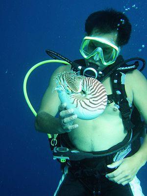 Nautilus belauensis - Image: Diver and nautilus