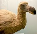 Dodo Natural History Museum London England 03.jpg