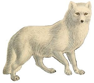 Red fox - 50 px