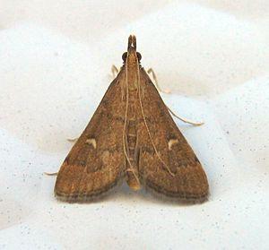 Dolicharthria punctalis - Adult, Roussillon (France)