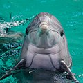Dolphin (16166786371).jpg