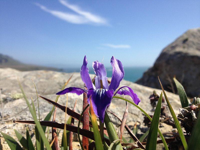 Douglas iris fort ross california.jpg