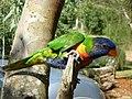 Draganov papagaj-Miki - panoramio.jpg