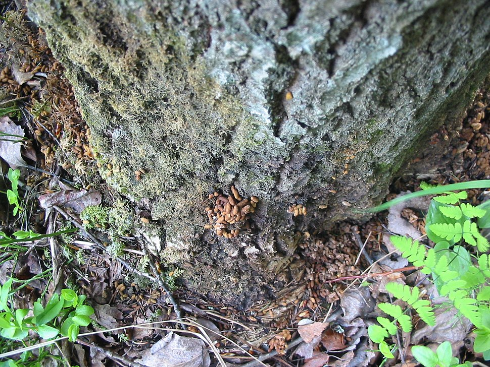 Droppings of siberian flying squirrel