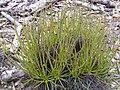 Drosophyllum lusitanicum Habitus 2011-4-21 SierraMadrona.jpg