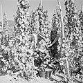Druivenplukkers aan het werk, Bestanddeelnr 254-4160.jpg