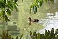 Duck (3919384104).jpg