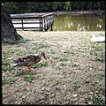 Duck at Tilles Park, St. Louis County, Missouri.jpg