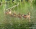 Ducks and ducklings - geograph.org.uk - 1279063.jpg