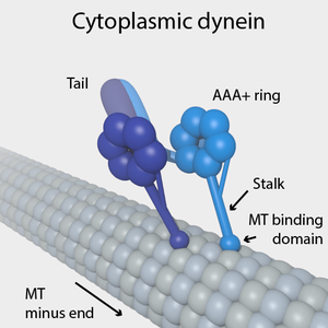 Dynein - Cytoplasmic dynein on a microtubule