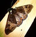 Dysschema species - Flickr - gailhampshire (1).jpg