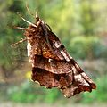 Early Thorn. - Flickr - gailhampshire.jpg