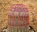 Echinocereus rigidissimus rubispinus 01 ies.jpg