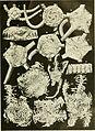 Echinodermata Ophiuroidea (1922) (21127580752).jpg