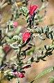Echium judaeum Judean Viper's Bugloss იუდეის ძირწითელა (2).JPG