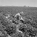 Een bewoonster van de kibboets Revivim in de Negevwoestijn bij een nieuwe aanpl…, Bestanddeelnr 255-3965.jpg