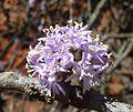 Ehretia rigida subsp rigida, blomme, Groenkloof NR, b.jpg
