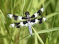 Eight-spotted Skimmer 02.jpg