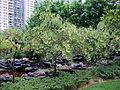 Elaeocarpus hainanensis.jpg