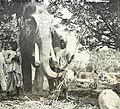 Elephant, India, ca. 1920 (IMP-CSCNWW33-OS16-17).jpg