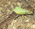 Elgaria multicarinata eating mantis 1.jpg