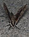 Elm Sphinx Moth (Ceratomia amyntor) - Guelph, Ontario 02.jpg