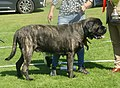 English Mastiff brindle male 4.jpg
