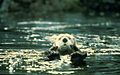 Enhydra lutris cute sea otter animal in lake.jpg