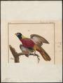 Eos histrio - 1775-1781 - Print - Iconographia Zoologica - Special Collections University of Amsterdam - UBA01 IZ18500312.tif