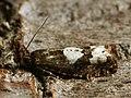 Epinotia trigonella - Birch epinotia moth (40373312695).jpg