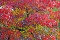 Erable en automne (4065230760).jpg