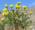 Ericameria linearifolia 8.jpg