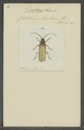 Erioderus - Print - Iconographia Zoologica - Special Collections University of Amsterdam - UBAINV0274 032 04 0059.tif