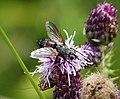Eriothrix rufomaculata Tachinidae (39085099894).jpg