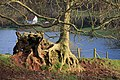 Eroded tree roots - geograph.org.uk - 648369.jpg