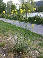 Erucastrum nasturtiifolium sl7.jpg