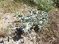 Eryngium maritimum - Stranddistel - Le Panicaut des dunes - Blauwe zeedistel - Sea Holly.JPG