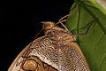 Eryphanis reevesii - Schmetterlingshaus Wien 3.jpg