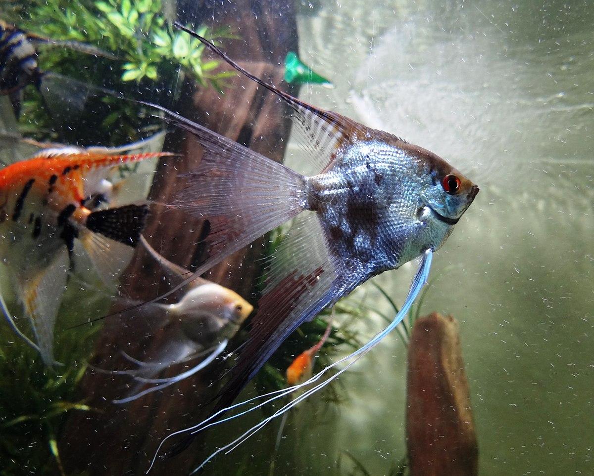 Pterophyllum scalare wikipedia la enciclopedia libre for Manual de peces ornamentales