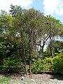 Espadaea amoena — Barry Stock 003.jpg