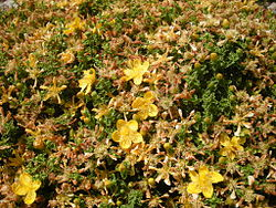 meaning of hypericum