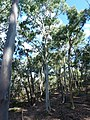 Eucalyptus mannifera (5371880113).jpg