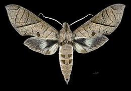 Eumorpha translineatus MHNT CUT 2010 0 272 Serra do Mar, Santa Catarina, Brazil male dorsal.jpg